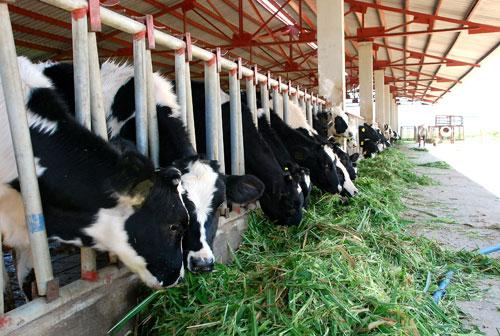 Tiềm năng phát triển chăn nuôi bò sữa tại Nghệ An