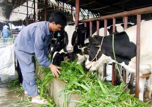 Nghề chăn nuôi bò sữa còn tồn tại nhiều bất cập