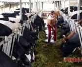 Thu nhập gần 200 triệu đồng/tháng nhờ chăn nuôi bò sữa