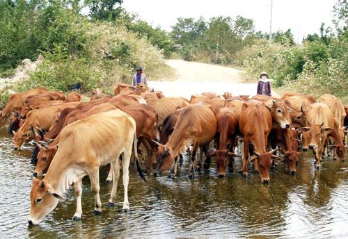 Những triệu chứng và cách điều trị bệnh dịch tả ở trâu bò