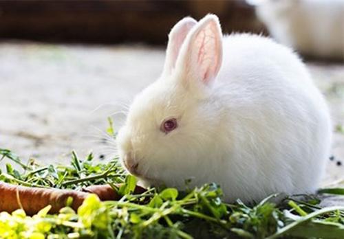 Những vấn đề cần lưu ý khi chăn nuôi thỏ 2