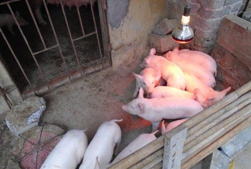 Cách nuôi lợn con sau cai sữa