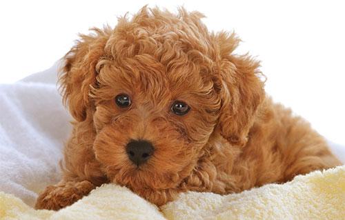 Chế độ ăn cho chó Poodle vào mùa hè 2