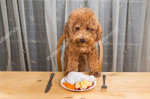Chế độ ăn cho chó Poodle vào mùa hè