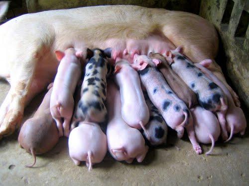 Chăm sóc lợn con sau khi sinh như thế nào