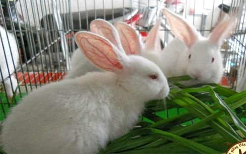 Cách kiểm tra sức khỏe cho thỏ như thế nào?