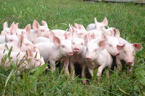 Hướng dẫn cách chăn nuôi heo siêu nạc an toàn - 2